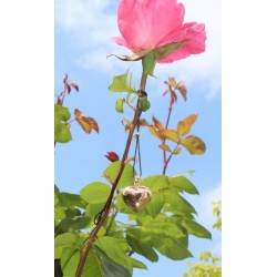 Bola de grossesse 'coeur' plaqué or rose